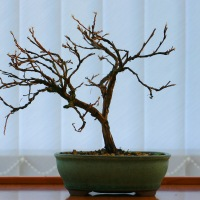 Shohin Potentilla Winter Image